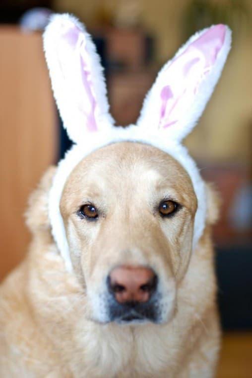 easter bunny dog4
