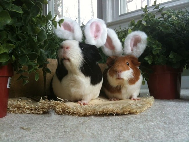 easter bunny guinea-pigs