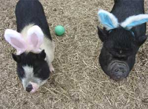 easter bunny pigs