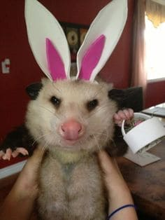 easter bunny possum